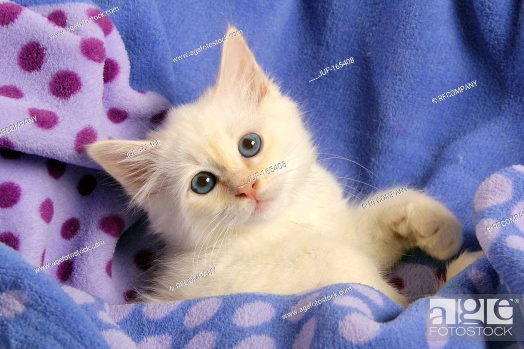 Imagen: Sacred cat of Burma - kitten - lying.