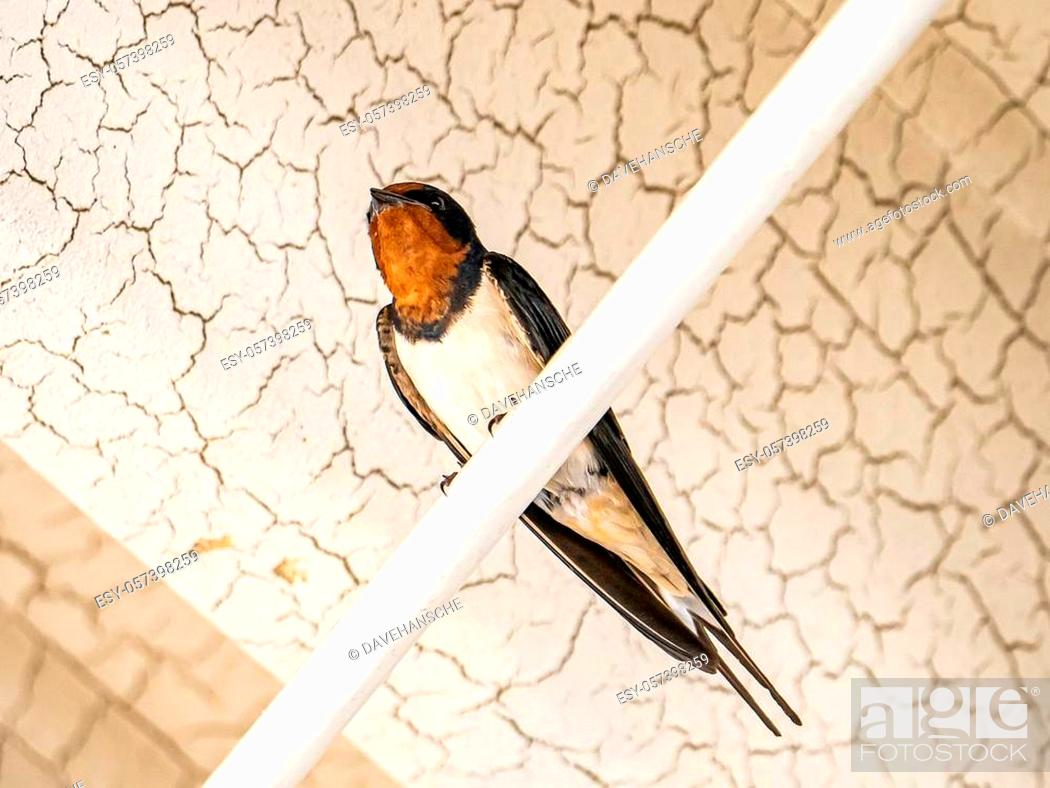 Stock Photo: A Japanese barn swallow, Hirundo rustica gutturalis, rests on a conduit outside a Japanese train station in Kanagawa Prefecture.