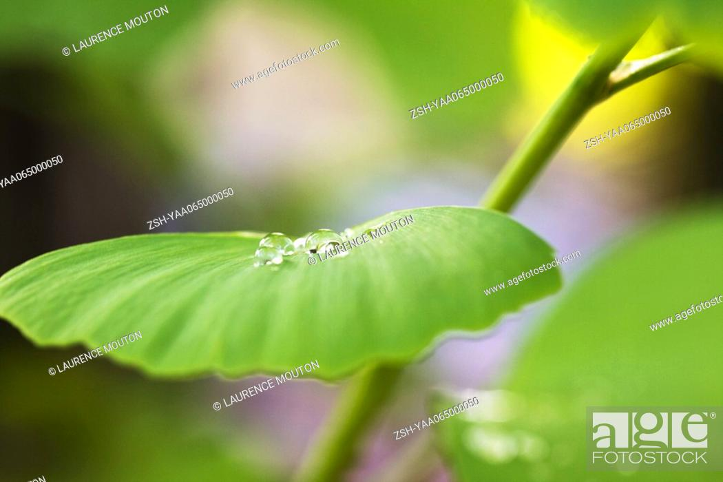 Stock Photo: Dew drops on ginkgo leaf, extreme close-up.