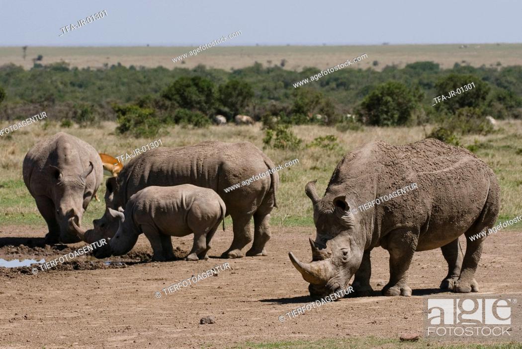 Stock Photo: white rhinoceroses.