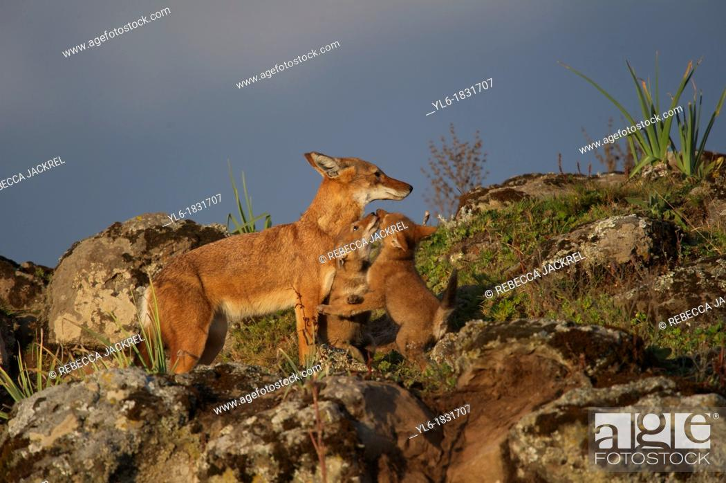 Stock Photo: Ethiopian wolf pup begging for food.