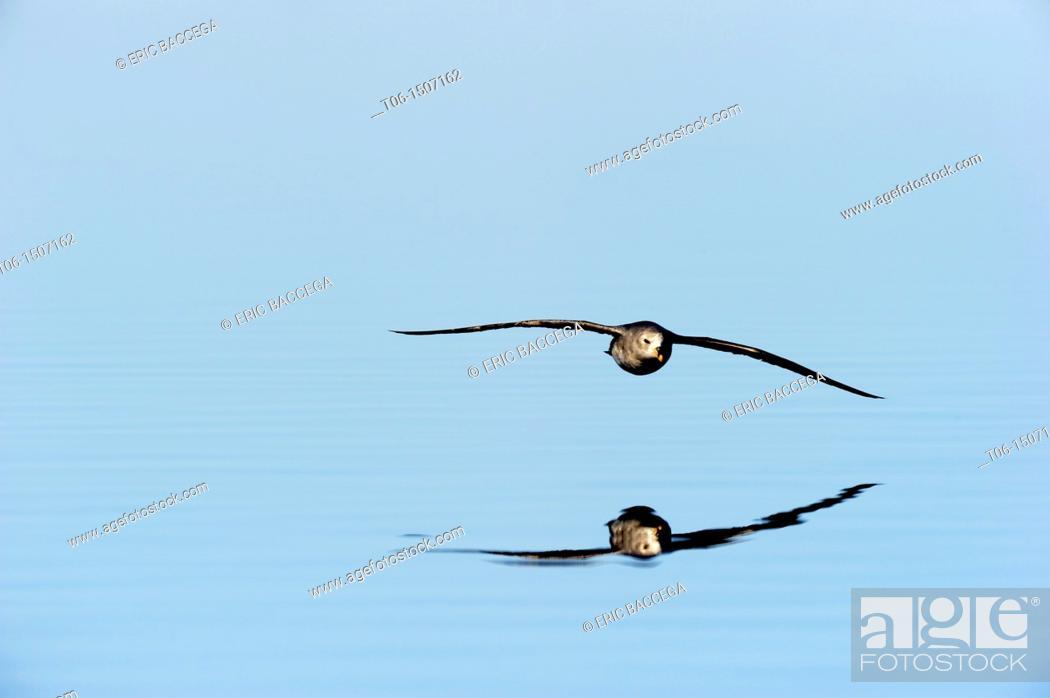 Stock Photo: Northern fulmar flying over water Fulmaris glacialis Floe edge, Arctic Bay, Nunavut, Canada.