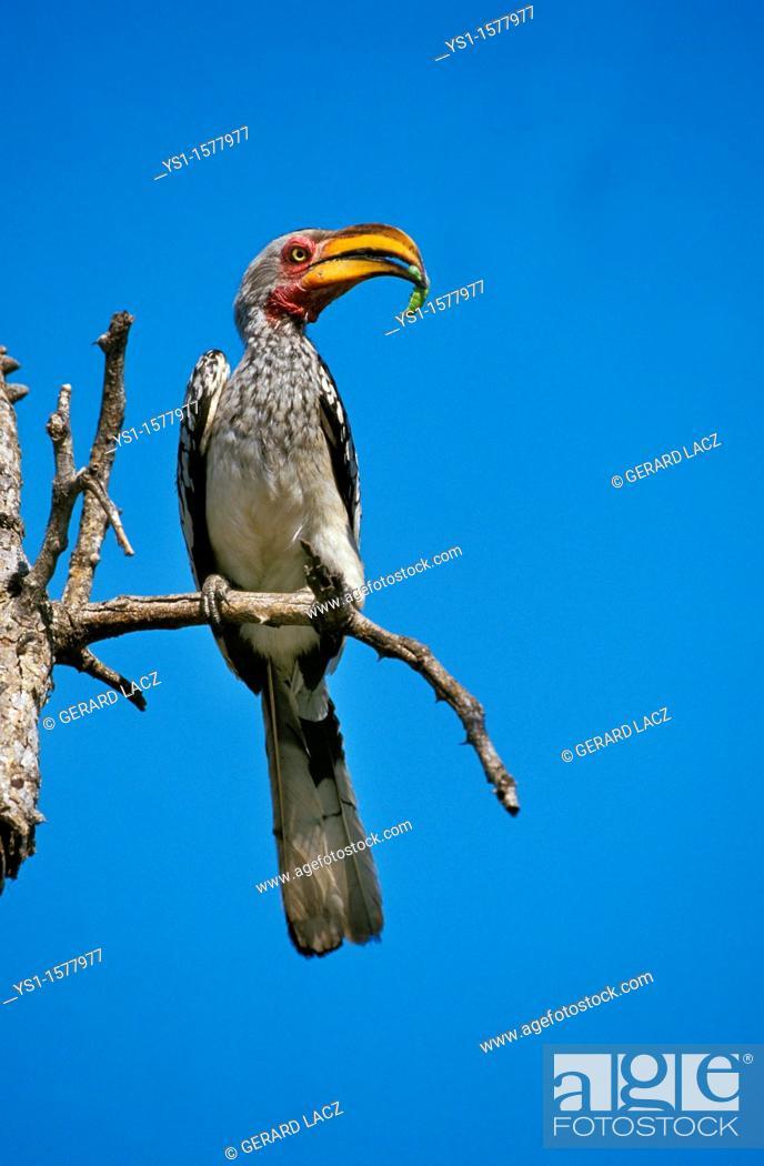 Stock Photo: Yellow Billed Hornbill, tockus flavirostris, Adult standing on Branch, Caterpillar in its Beak, Kenya.