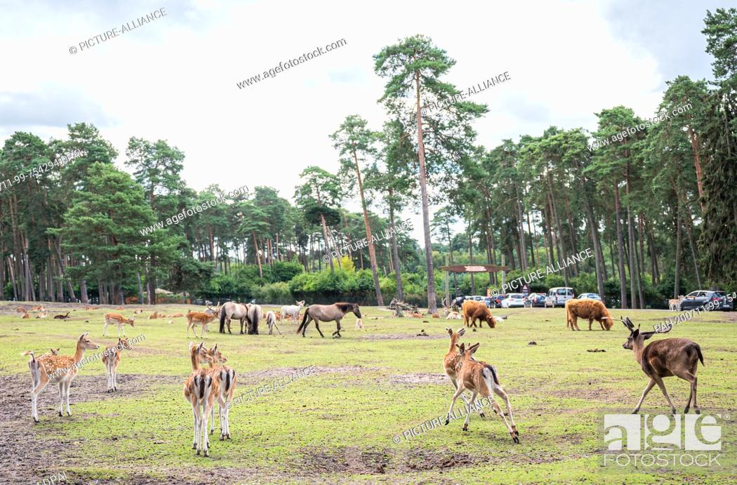 Stock Photo: 11 July 2020, Lower Saxony, Hodenhagen: Fallow deer, fallow deer, Scottish highland cattle and horses are on a large meadow area in the Serengeti Park.
