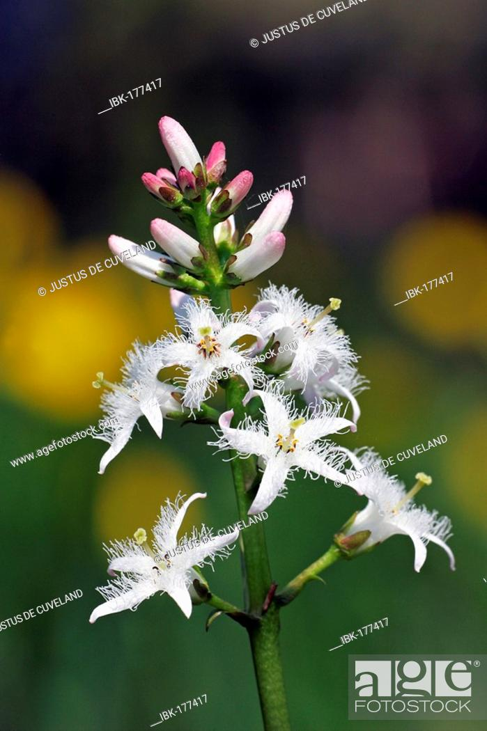 Stock Photo: Flowering water trefoil - bogbean (Menyanthes trifoliata).