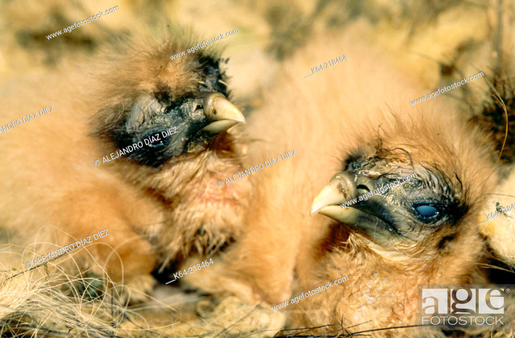 Stock Photo: Egyptian Vulture (Neophron percnopterus) baby in nest.