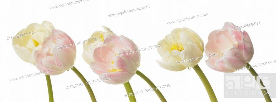 Imagen: Tulips.