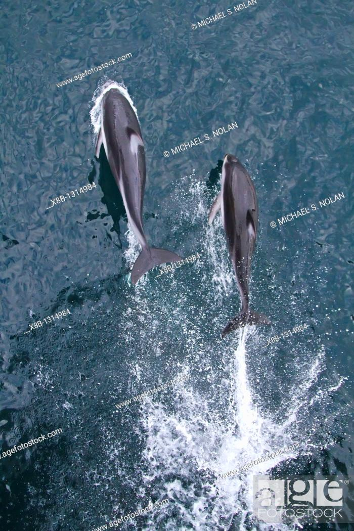 Stock Photo: A pod of Pacific white-sided dolphins Lagenorhynchus obliquidens leaping and bow-riding the National Geographic Sea Bird in Johnstone Strait, British Columbia.