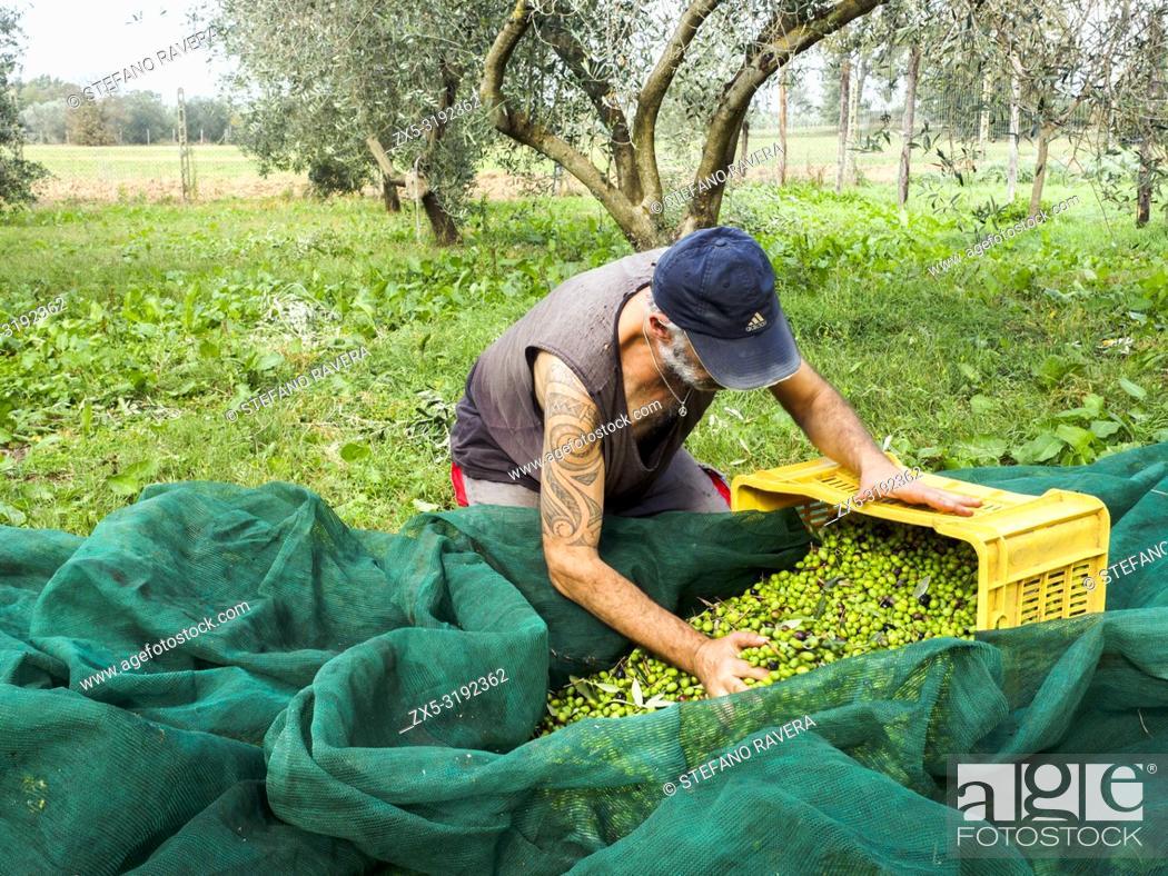 Imagen: Olives harvesting - Tuscany, Italy.