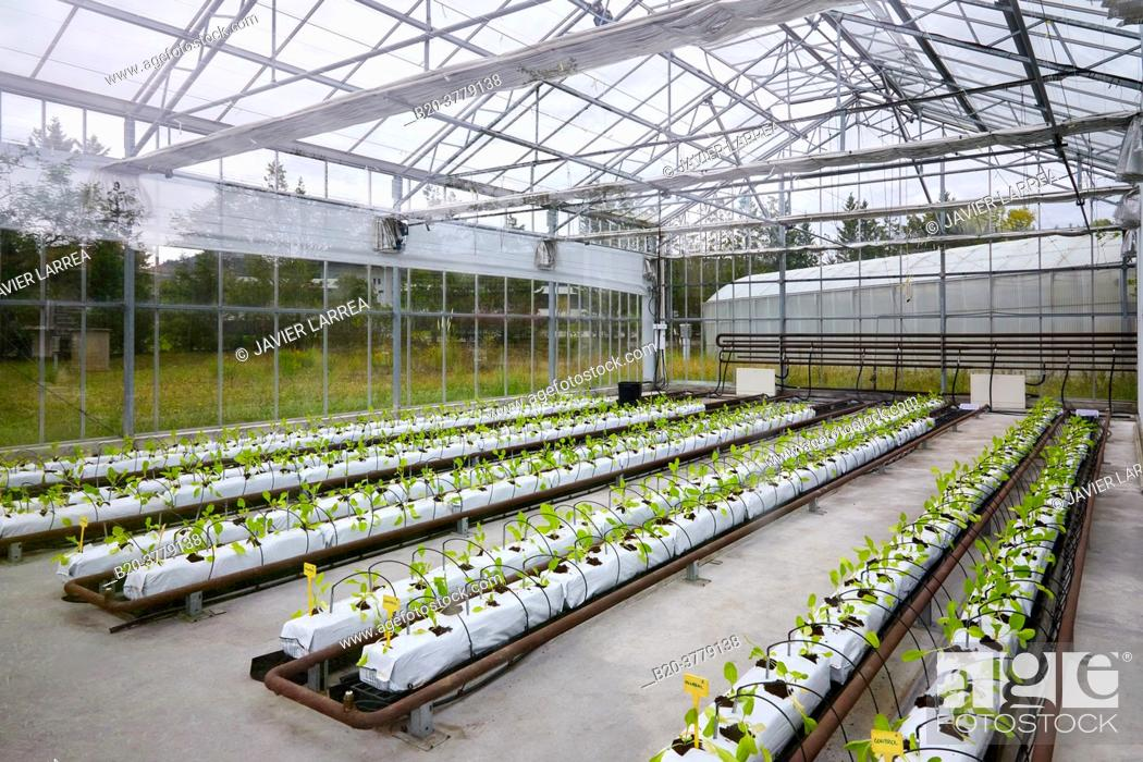 Stock Photo: Swiss chard cultivation research, greenhouse, Institute for Agricultural Research and Development and the Natural Environment, Basque Country, Spain, Europe.