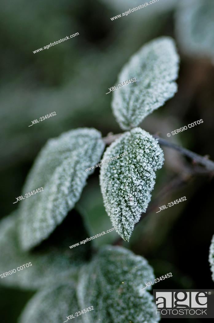 Stock Photo: Frost.