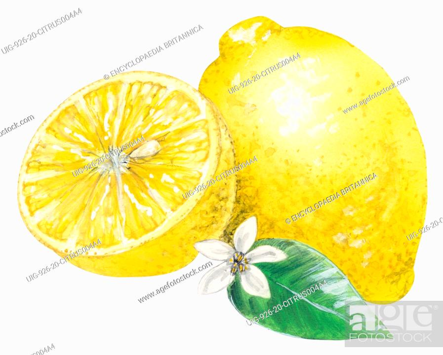 Imagen: Lemon, citrus fruit.