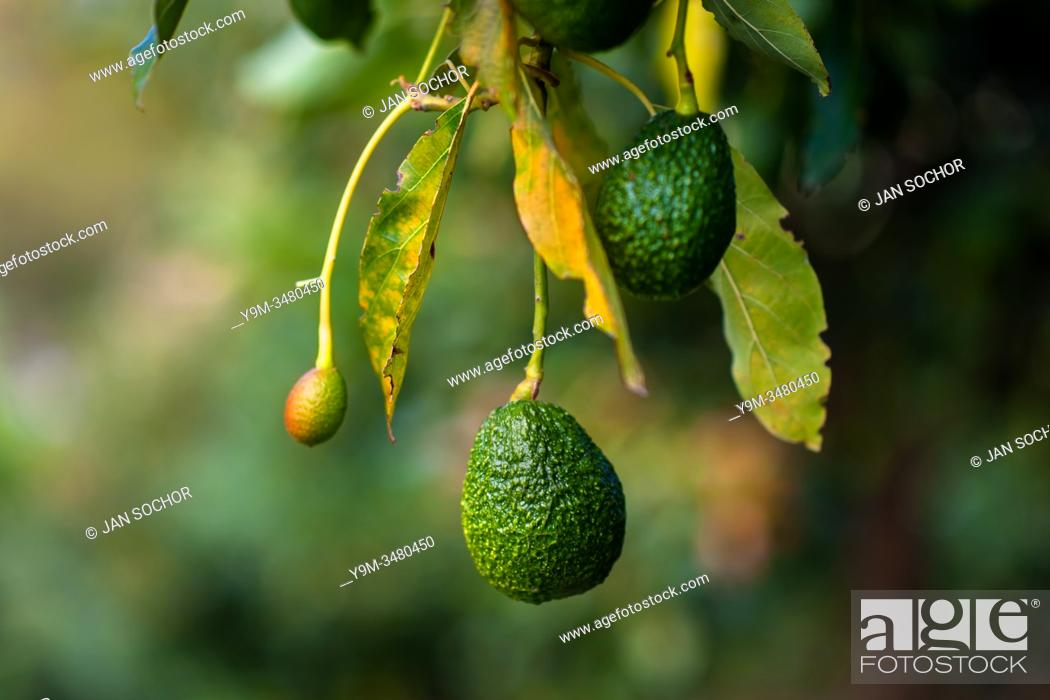 Stock Photo: Green avocados are seen growing on a tree at a plantation near Sonsón, Antioquia department, Colombia, 16 October 2019. Over the past decade.