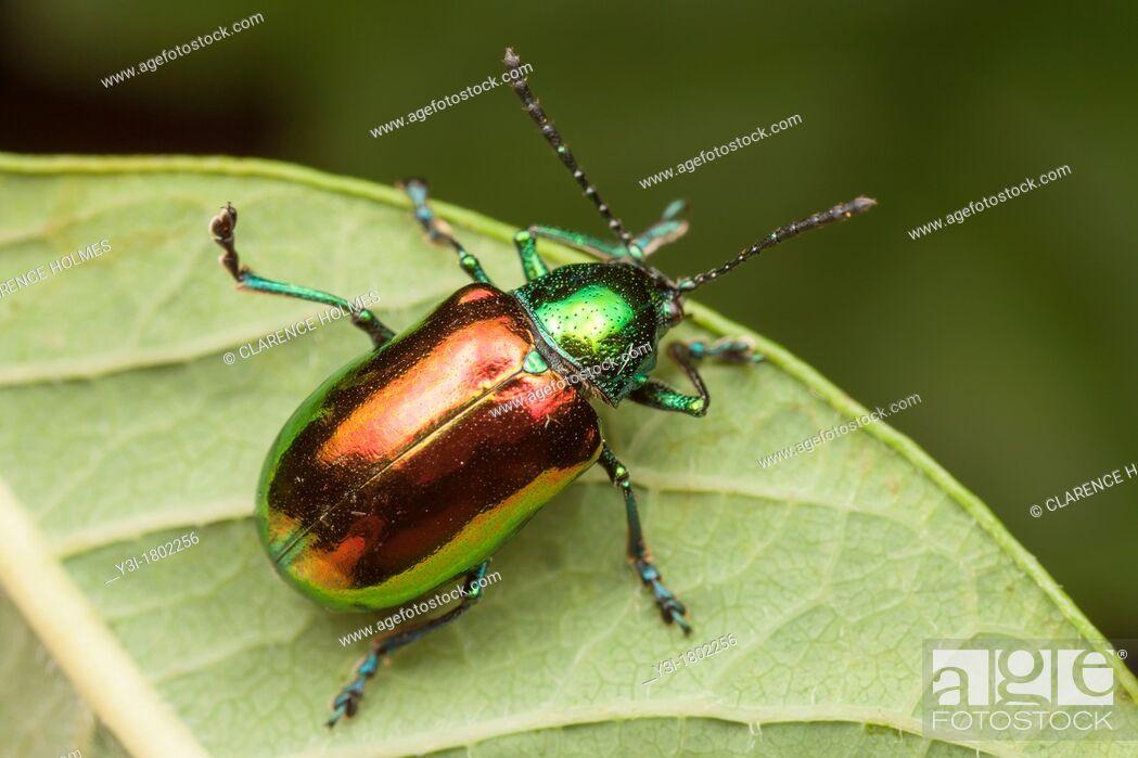 Stock Photo: Dogbane Beetle Chrysochus auratus, Bald Eagle State Park, Howard, Centre County, Pennsylvania, USA.
