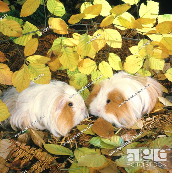 Stock Photo: Guinea Pigs.