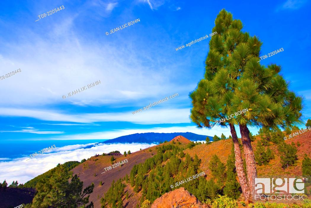 Imagen: spain, canary islands, la palma : birigoyo way, pine-tree.