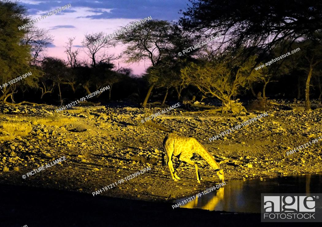 Stock Photo: 29 November 2019, Namibia, Etosha-Nationalpark: A giraffe drinks in Etosha National Park at dusk at an illuminated waterhole. Photo: Oliver Berg/dpa.