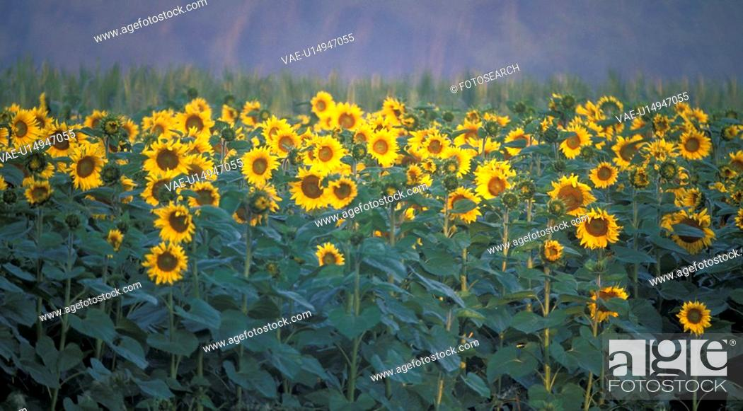 Stock Photo: helianthus, autumn, glowing, calf, burgenland, lafnitztal, austria.