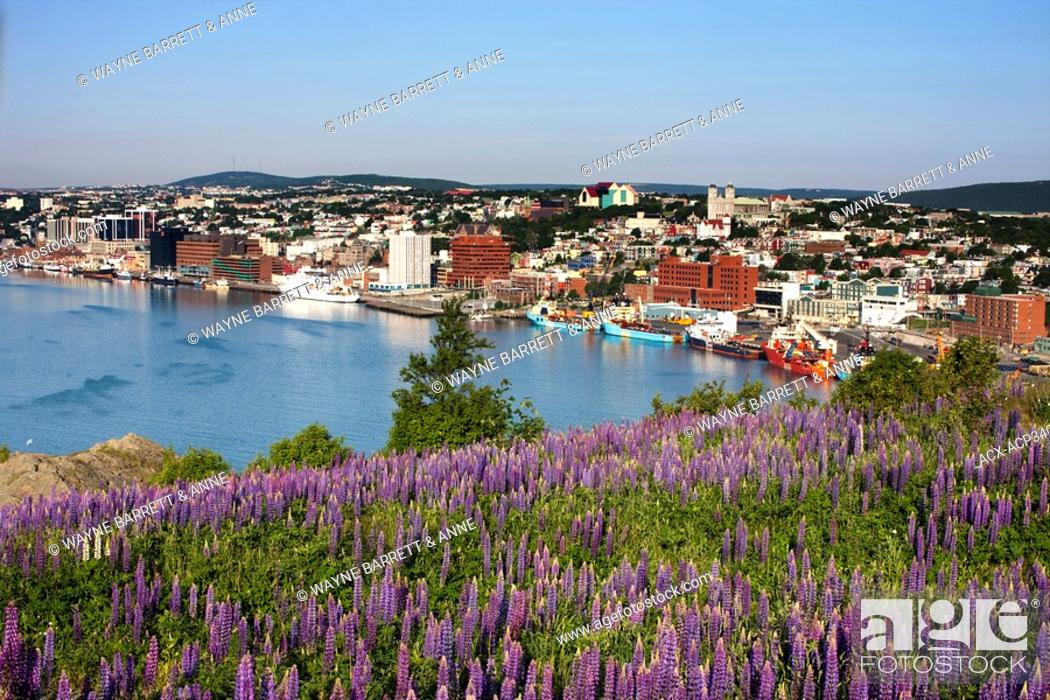 Stock Photo: View of St. John's Harbour with lupines Lupinus perennis in foreground on Signal Hill National Historic Site, St. John's, Newfoundland and Labrador, Canada.