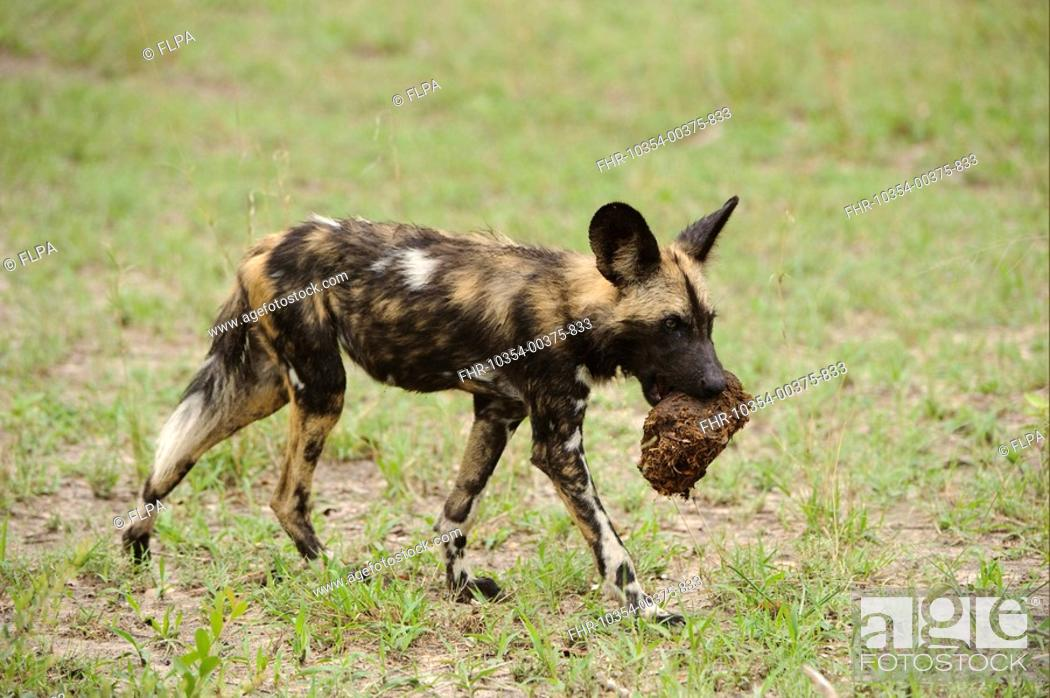 Stock Photo: African Wild Dog Lycaon pictus pup, carrying elephant dung in mouth, Kwando Lagoon, Linyanti, Botswana.