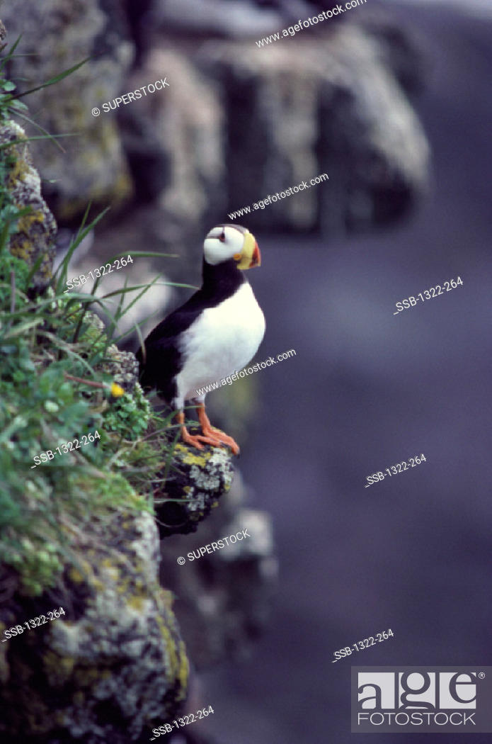 Stock Photo: Horned Puffin.