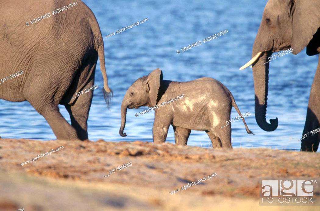 Stock Photo: African Elephant (Loxodonta africana). Chobe National Park , Botswana.