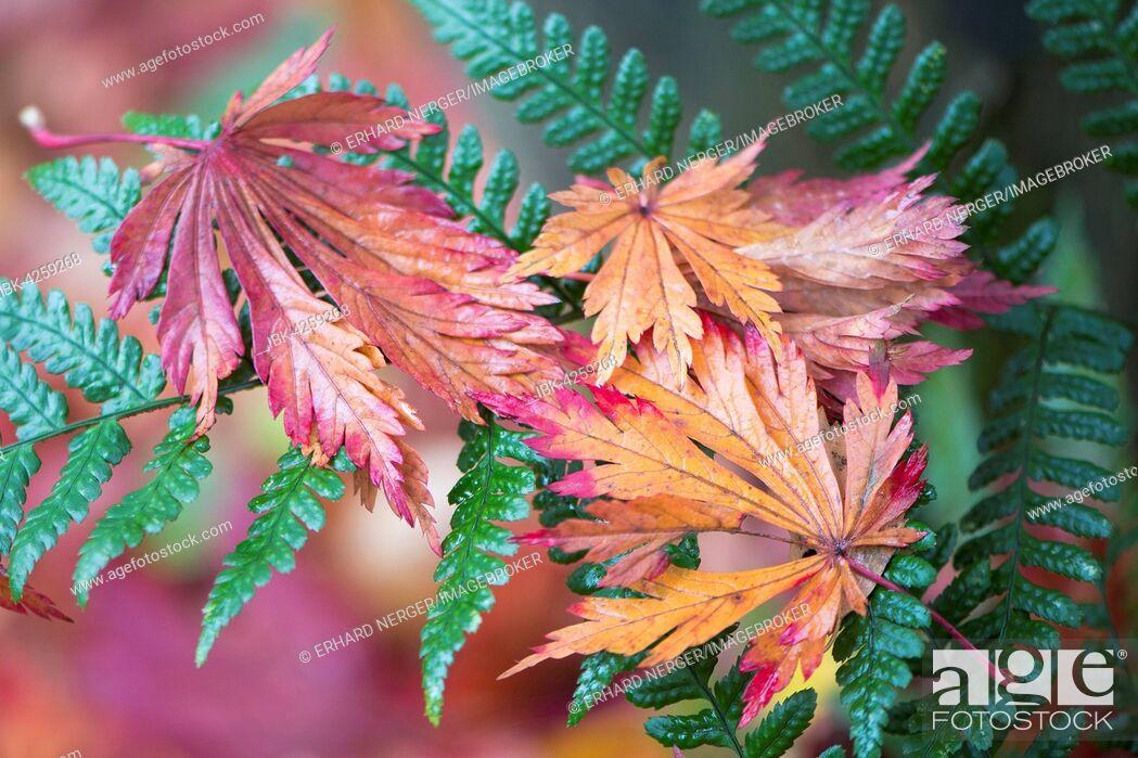 Stock Photo: Colourful foliage, fullmoon maple (Acer japonicum) leaves on fern, Emsland, Lower Saxony, Germany.