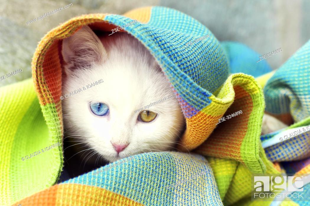 Photo de stock: Beautiful white odd eyed kitten hiding under blanket.
