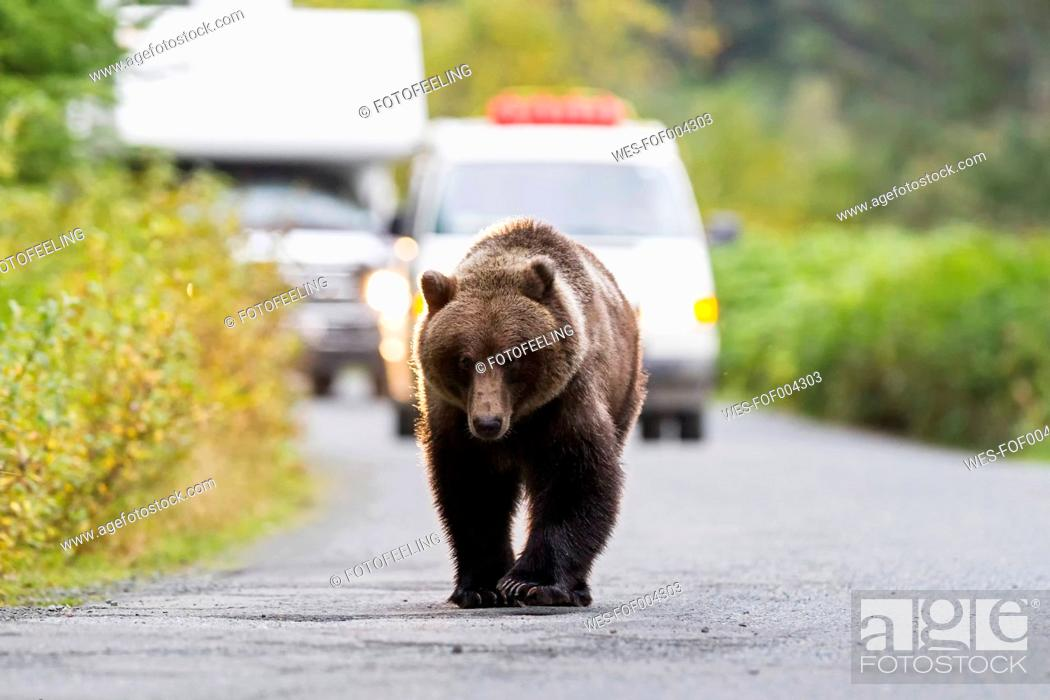 Stock Photo: USA, Brown bear walking on road in front of cars.