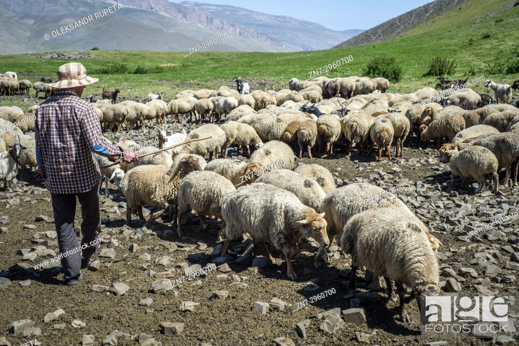 Stock Photo: A shepherd is counting sheep in the mountains near Khinalig village, Quba region, Azerbaijan. Khinalig is an ancient village deep in the Caucasian mountains on.