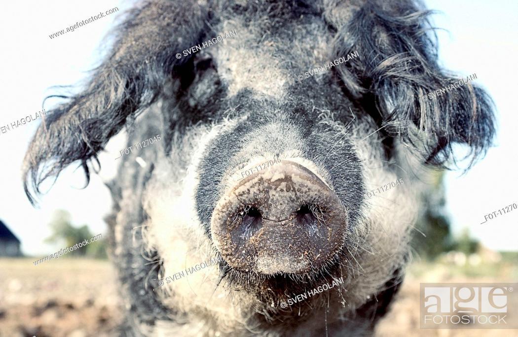 Stock Photo: Pig on farm looking at camera.