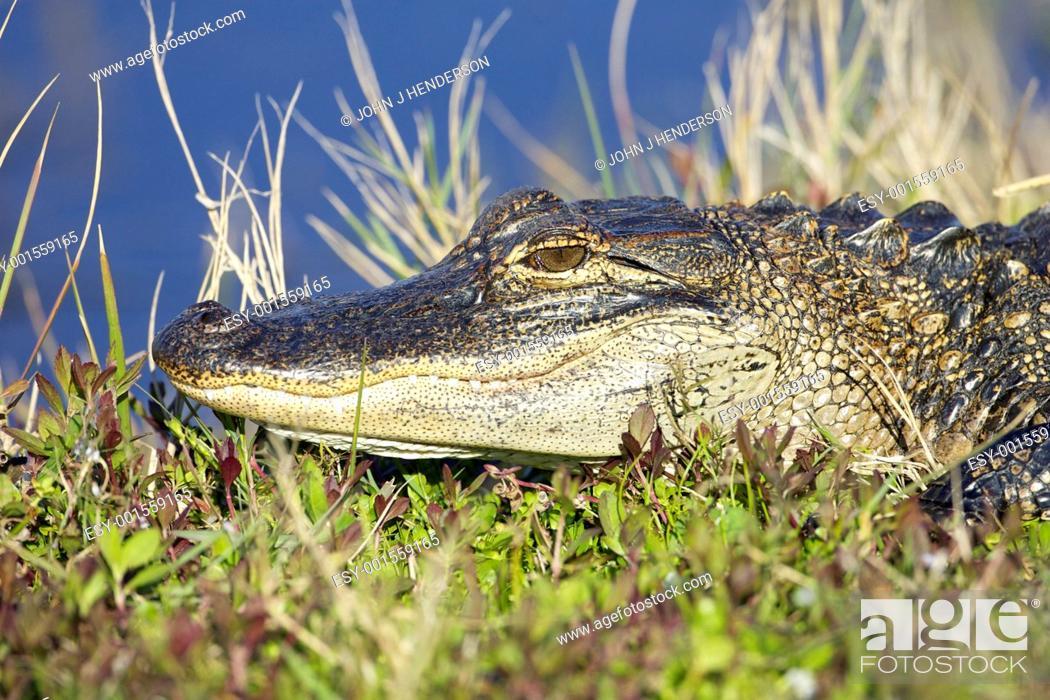 Stock Photo: American Alligator.