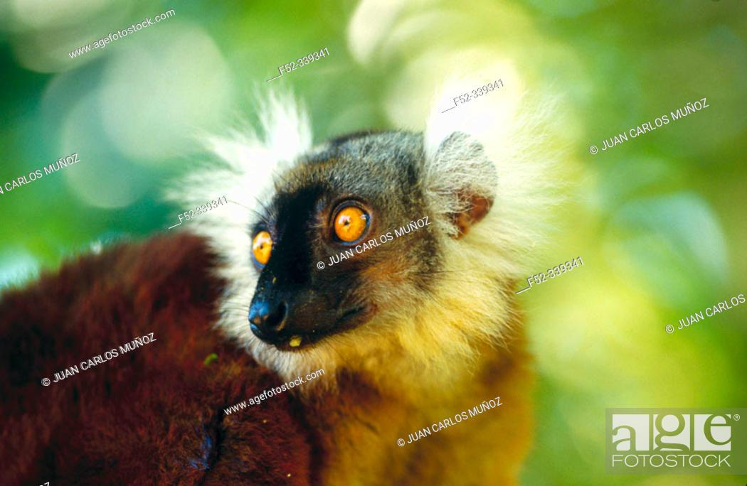 Stock Photo: Black Lemur (Eulemur macaco macaco).