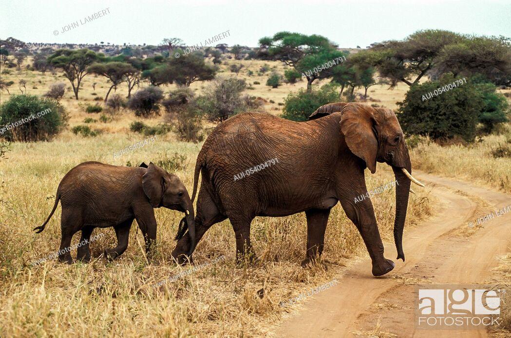 Stock Photo: africa, tanzania female elephant with calf (loxodonta africana), crossing road in the serengeti.