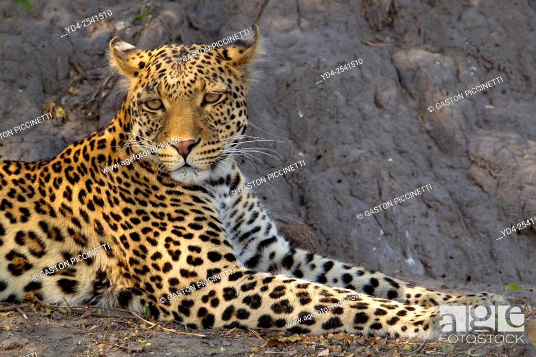 Stock Photo: Leopard (Panthera pardus) - Male, Chobe National Park, Botswana.