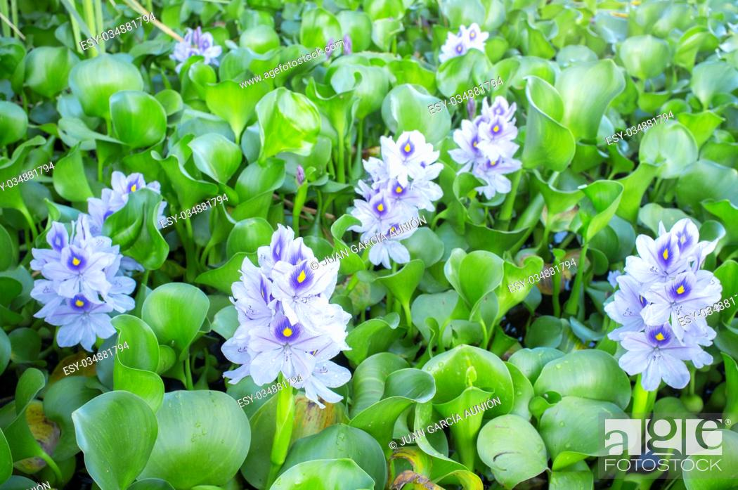 Stock Photo: Eichhornia crassipes, commonly known as water hyacinth. Highly problematic invasive species at Guadiana River, Badajoz, Spain.
