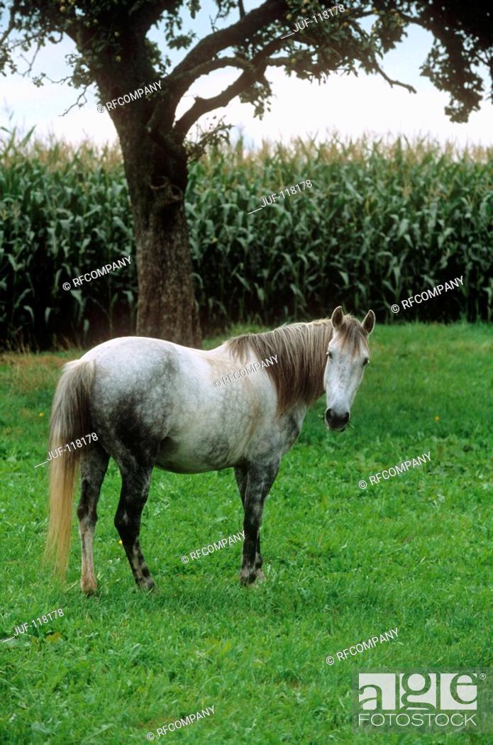 Stock Photo: Arravani horse - standing on meadow.
