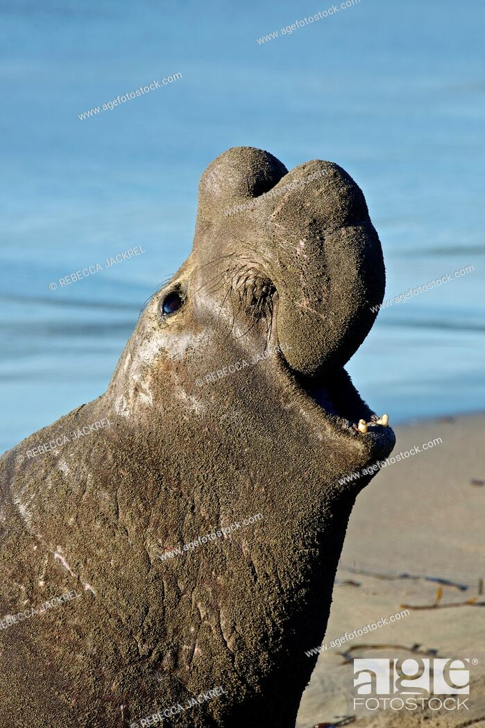 Stock Photo: North America, USA, California, San Simeon  Northern Elephant Seal.