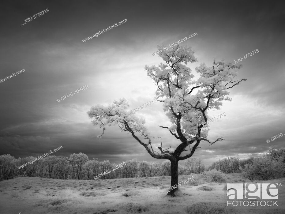Stock Photo: A small oak tree on at Dolebury Warren in the Mendip Hills in infrared.