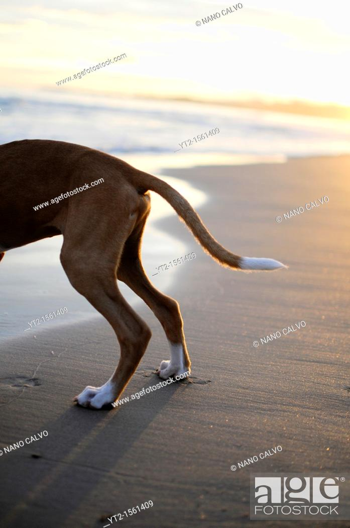 Stock Photo: Cute 4 months old dog on the beach, at sunset, in Tarragona, Spain.