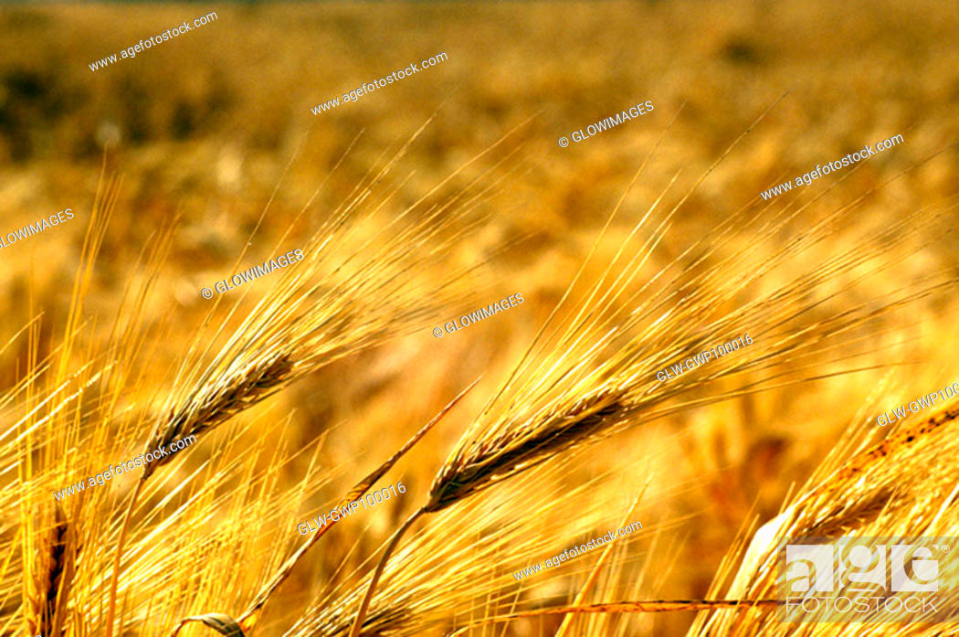 Stock Photo: Close-up of a wheat field in southern California.