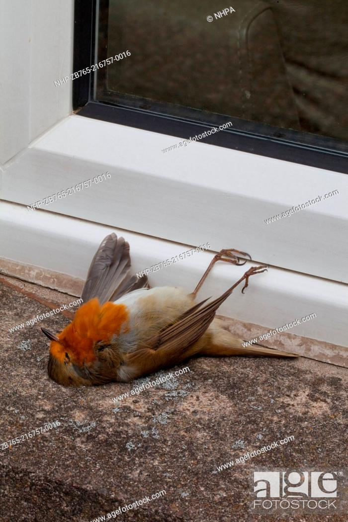 Robin Erithacus rubecula Glass window casualty Bird flew into window