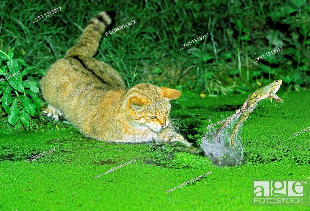 Stock Photo: EUROPEAN WILDCAT felis silvestris, ADULT HUNTING GREEN FROG rana esculenta.