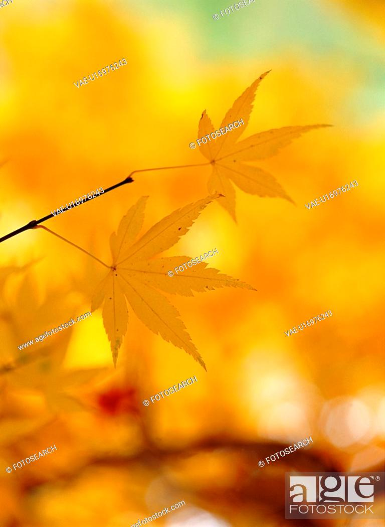 Stock Photo: autumnal tints, mapleleaf, maple leaves, maple, autumn, fall foliage, plant.