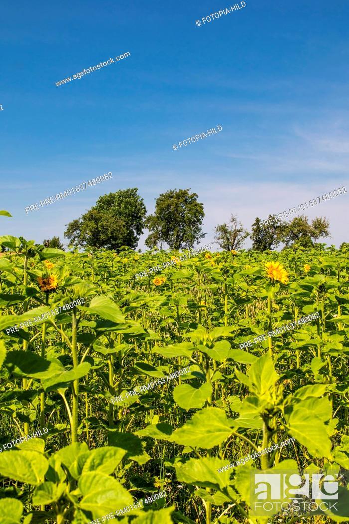 Imagen: Sunflowers at Feldmark near Dransfeld, Samtgemeinde Dransfeld, Göttingen District, Lower Saxony, Germany, summer 2017 / Sonnenblumenfeld in der Feldmark bei.