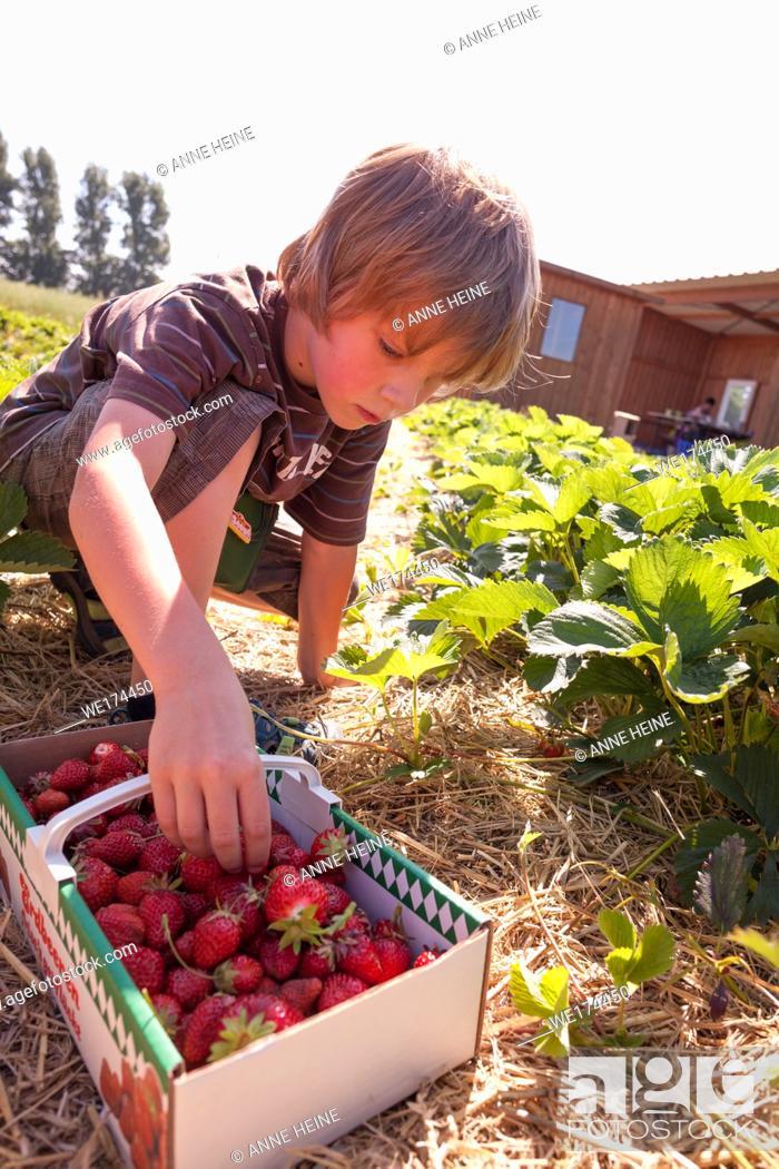 """Stock Photo: Boy is picking strawberries in a strawberry field. On basket is written: Erdbeeren frisch gepflückt""""""""- strawberries picked fresh."""