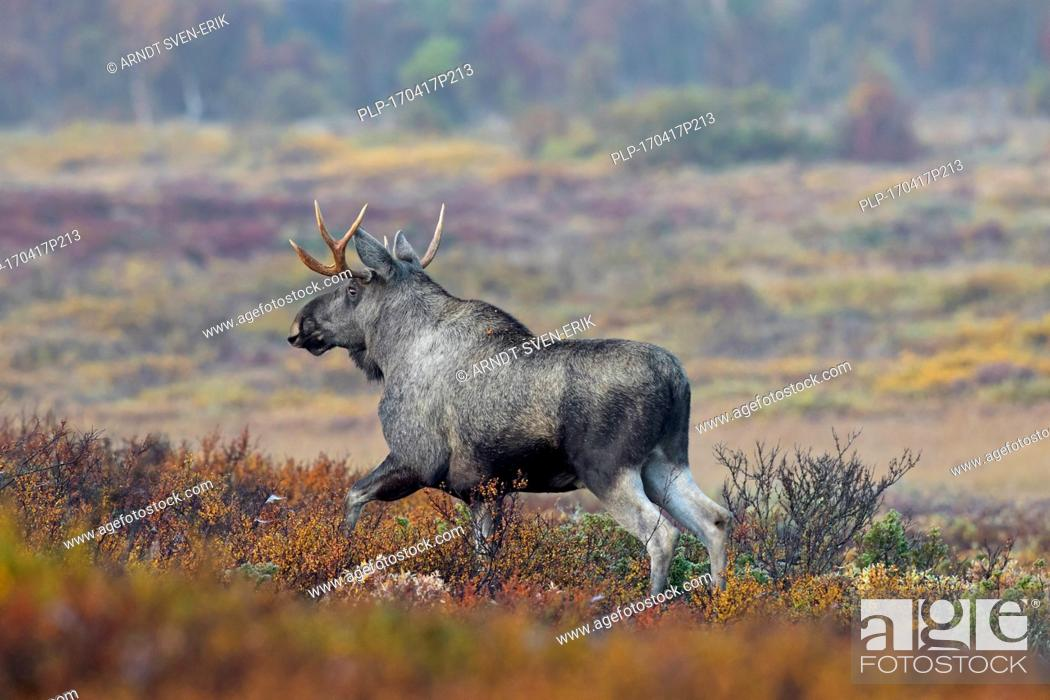 Stock Photo: Moose (Alces alces) young bull with small antlers foraging in moorland in autumn, Scandinavia.