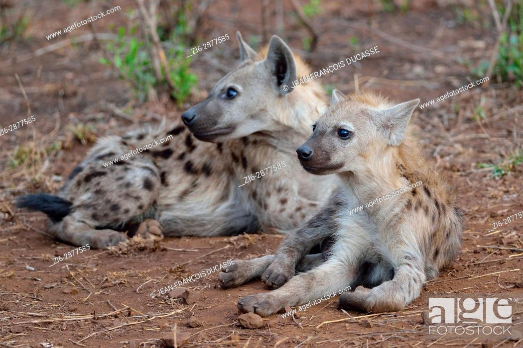 Stock Photo: Spotted hyenas or Laughing hyenas (Crocuta crocuta), lying, looking in the same direction, Kruger National Park, South Africa, Africa.