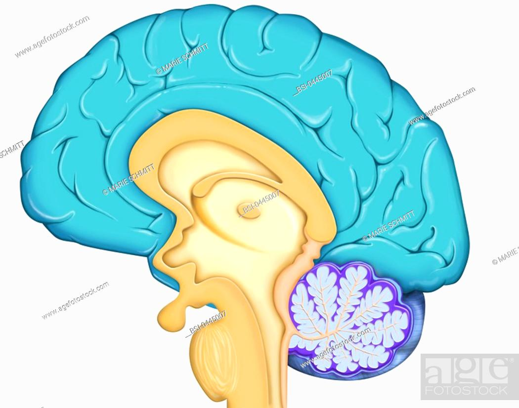 Stock Photo: BRAIN, DRAWING Anatomy of the encephalon median section, with : - the cerebral cortex in blue-grey, - the diencephalon and the pituitary gland in brown.