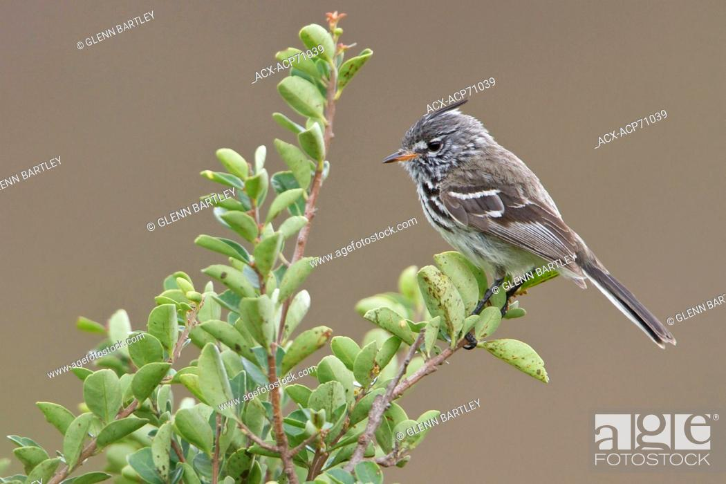 Stock Photo: Yellow-billed Tit-Tyrant (Anairetes flavirostris) perched on a branch in Bolivia, South America.
